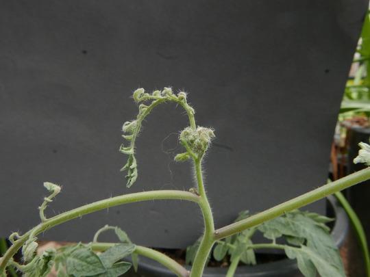 Clopyralidskade på tomatplante. Foto_ Haveselskabet.JPG