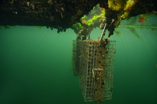 Eksempel på biohut_kreditering Remy Dubas - Ecocean.jpg